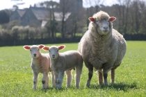 Caerhays sheep