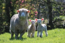 Caerhays sheep and lambs