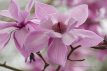 Caerhays Magnolias Diva Julian Williams by Ellen Rooney